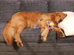 dog-sleep-couch