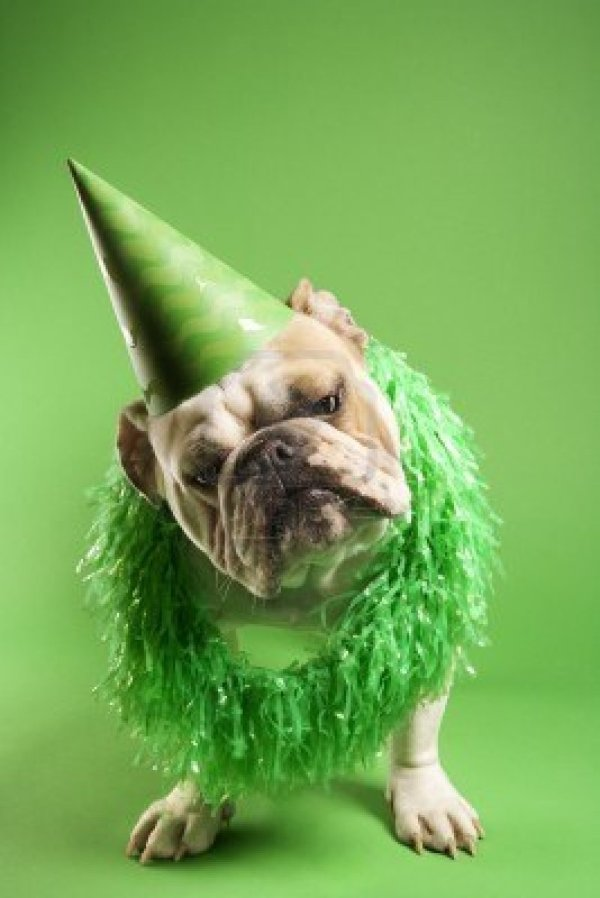 1795719-english-bulldog-with-curious-expression-wearing-lei-and-party-hat-and-sitting-on-green-background