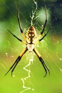 garden-spider-on-web_1177x1758