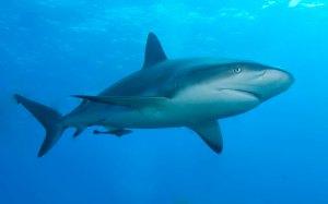Caribbean_reef_shark
