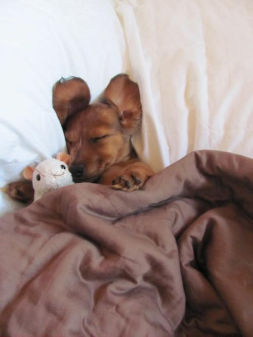 Puppy-snuggling-under-the-covers-with-his-buddy.